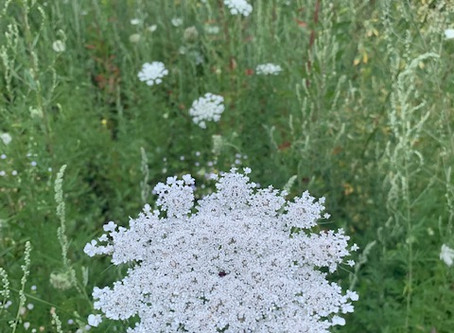 Queen Anne's Lace - A Bloody Tale