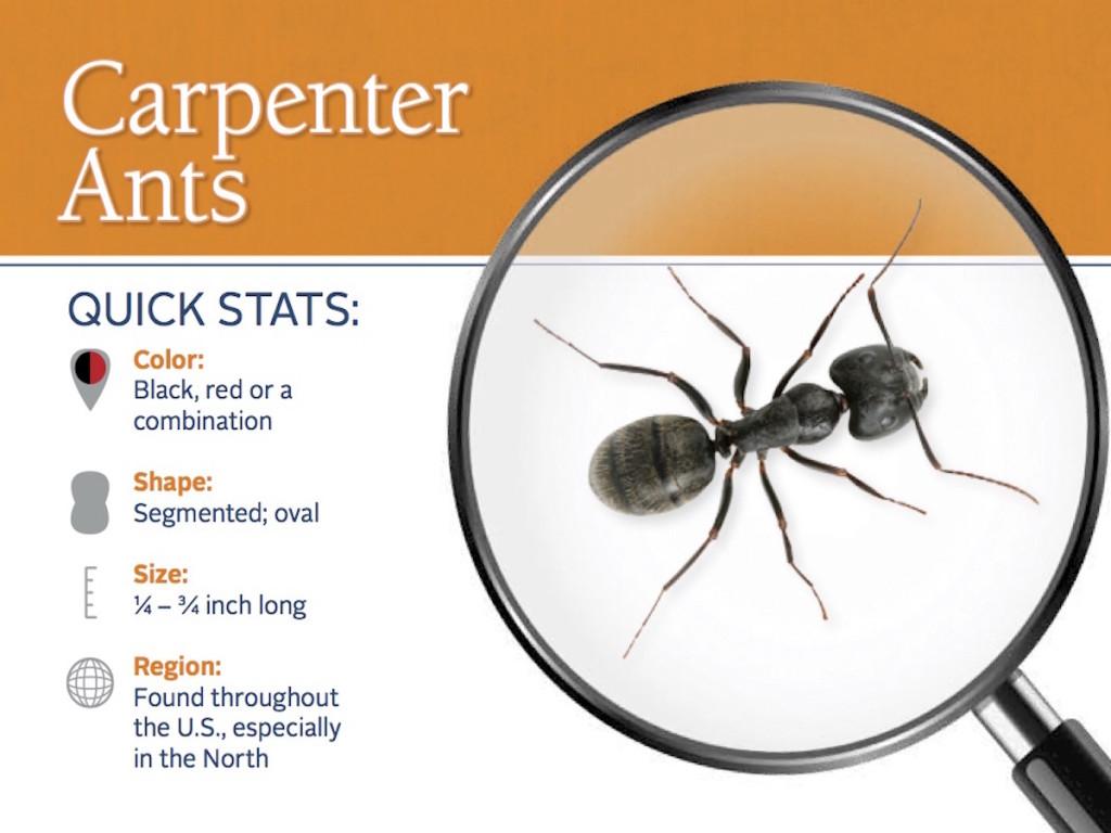 carpenter-ant-pest-id-card_front-1024x768.jpg