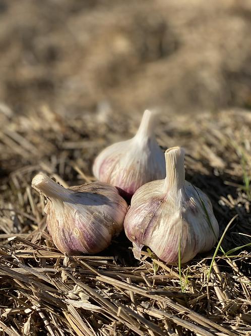 Red Russian Garlic- sm/ med