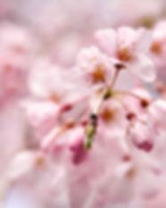 tokyo-Blooming-s.jpg