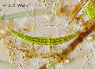 Closterium cf.dianae