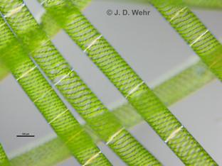 Spirogyra cf. maxima