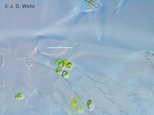 Colacium vesiculosum on Mesocyclops