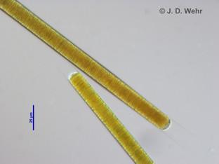 Limnoraphis cf. birgei
