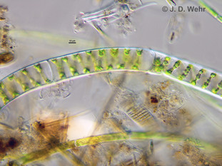 Spirogyra sp. B