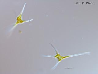 Ceratium hirundinella
