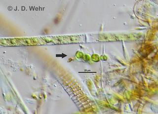 Chaetosphaeridium globosum