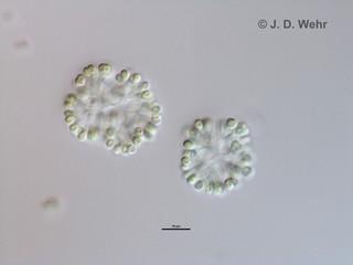 Snowella lacustris