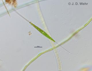 Closterium cf. setaceum