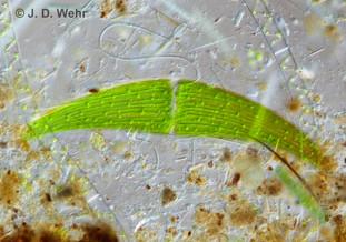 Closterium cf. moniliferum