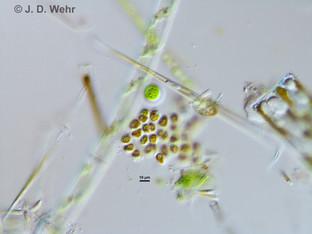 (putative) Phaeoplaca thallosa