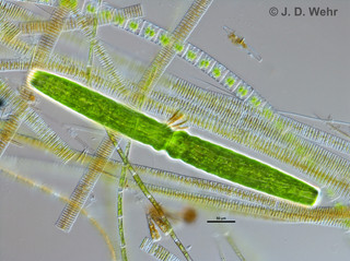 Pleurotaenium cf. trabecula