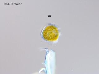 Peridinium willei