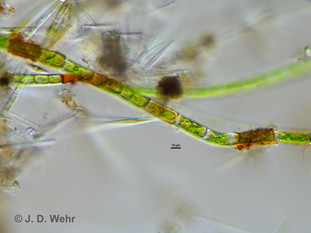 Oedogonium sp. A