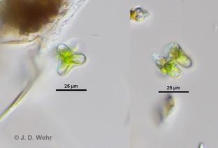 Staurastrum cf. dilatum