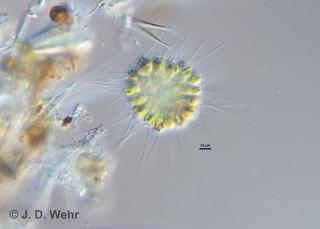 Chrysosphaerella longispina