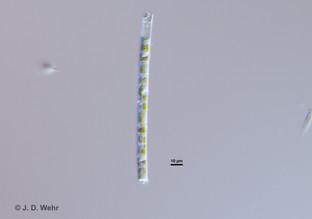 Aulacoseira cf. ambigua or A. granulata