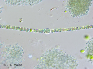 Dolichospermum planctonicum