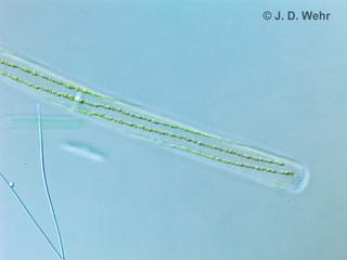Sirogonium sp. A