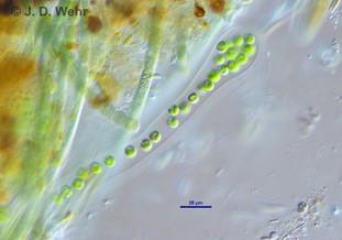 Tetraspora gelatinosa
