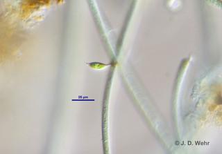 Characium cf. ornithocephalum