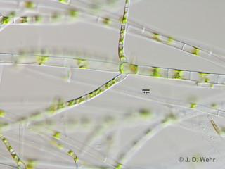 Stigeocloniumcf. amoenum