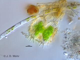 Xanthidium cf. antilopaeum