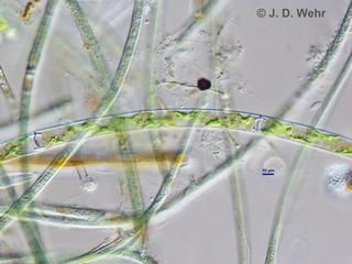 Spirogyra sp. A