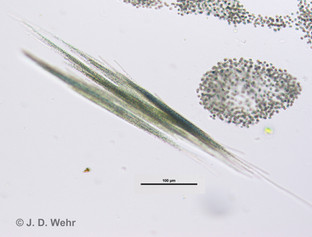 Aphanizomenon flos-aquae