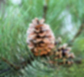 brown pinecones_edited.jpg