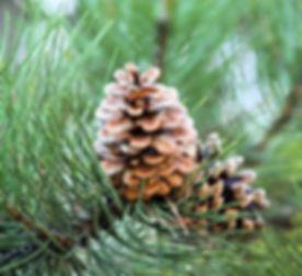brown pinecones_edited.jpg