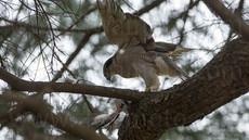 母鳥の狩り、「都会に進出した猛禽、オオタカ」20
