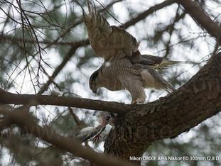 「都会のオオタカ、観察の記録」20、母鳥の狩り
