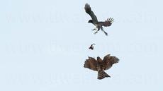 「都会のオオタカ、観察の記録」33、空中餌渡し