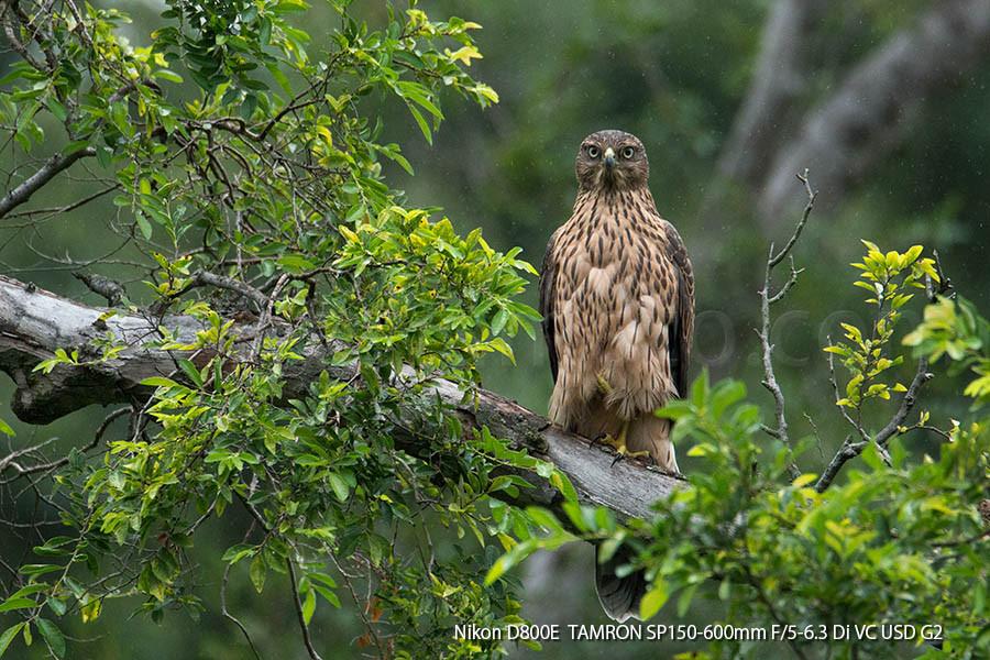 オオタカ幼鳥、都市公園木立にて