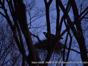 「都会のオオタカ、観察の記録」7、オスによる繁殖場所の巣の下見