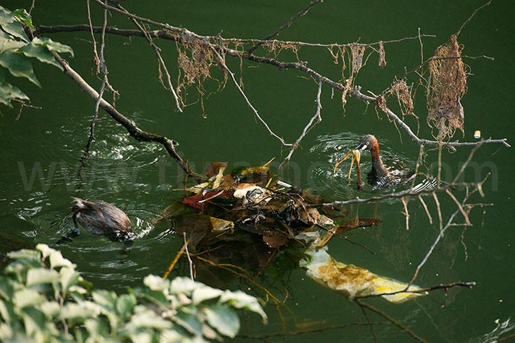 カイツブリ、巣作り3