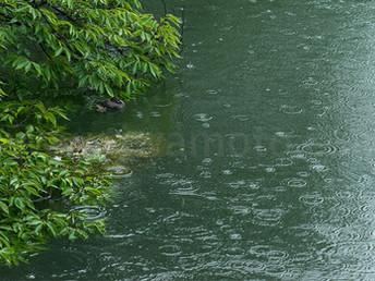 「カイツブリ観察日記」2、冷たい雨