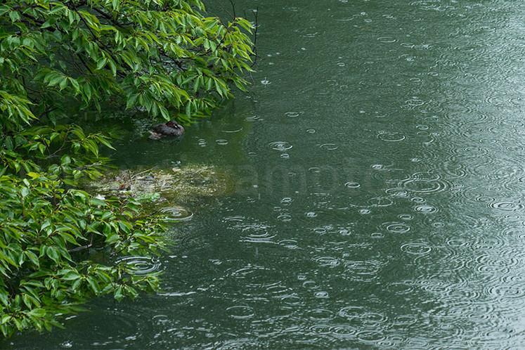 雨、「カイツブリ観察日記、2」