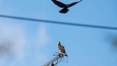 「都会のオオタカ、観察の記録」29、幼鳥とカラス