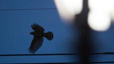 初めての飛翔、「都会に進出した猛禽、オオタカ」21