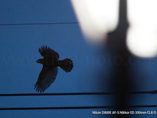 「都会のオオタカ、観察の記録」21、初めての飛翔