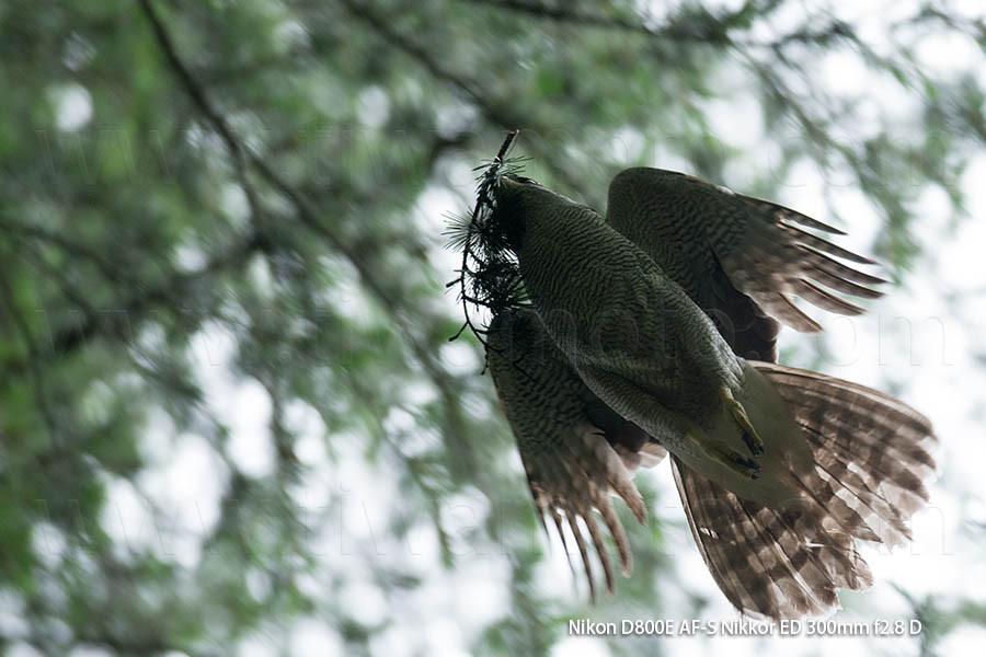 巣材を運ぶオオタカ、メス