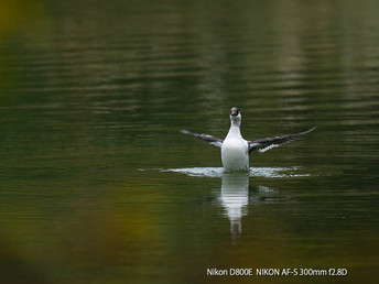 冬鳥の到来、「ミコアイサ」