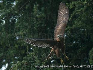 「都会のオオタカ、観察の記録」34、逞しく育った幼鳥たち