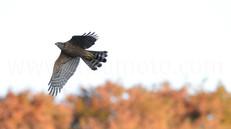 「都会のオオタカ、観察の記録」38、しばらくぶりに帰って来た幼鳥