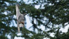 食欲旺盛な幼鳥たち、「都会に進出した猛禽、オオタカ」25