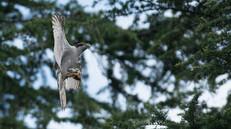 「都会のオオタカ、観察の記録」25、食欲旺盛な幼鳥たち