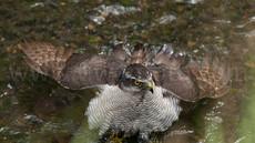親鳥の水浴び、「都会に進出した猛禽、オオタカ」24