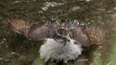 「都会のオオタカ、観察の記録」24、親鳥の水浴び